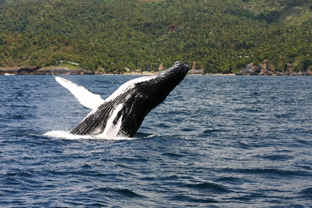 Whale Watching Tour in Samana Bay Dominican Republic from Las Terrenas town.