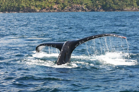 Humpback Whale Watching in Samana Dominican Republic from Las Terrenas DR.