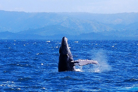 Whale Watching in Samana Bay from Las Terrenas Samana DR.