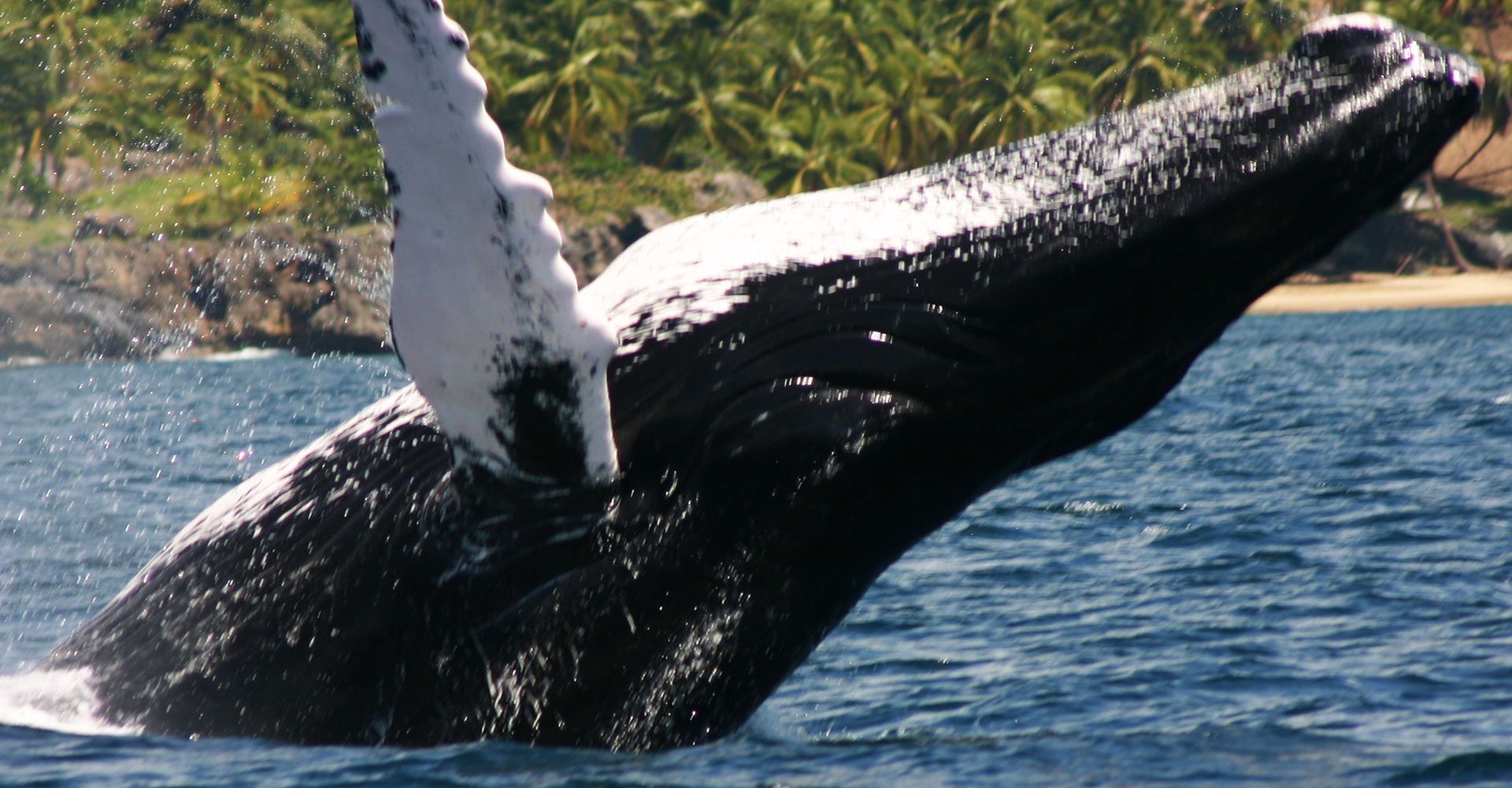 One of the Best Excursions from Las Terrenas : Humpback Whale Watching Tour in Samana Bay Dominican Republic.